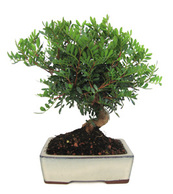 bonsai pistacea
