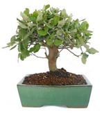 bonsai quercus