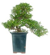 bonsai illex